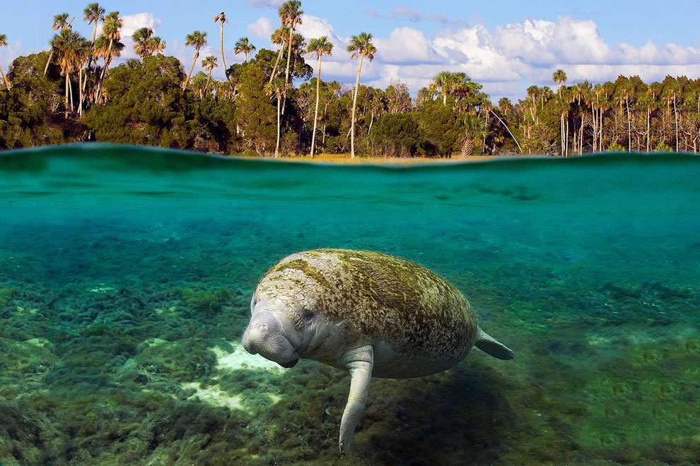King-Spring-one-of-many-warm-water-springs-in-Kings-Bay-provides-72-degree-water-for-manatees-year-round.jpg